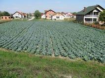 Cabbage garden, Futog, Serbia. Cabbage garden in Futog, Serbia Royalty Free Stock Photography