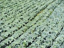 Cabbage garden, Futog, Serbia. Cabbage garden in Futog, Serbia Royalty Free Stock Photo
