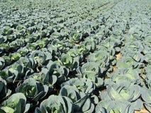 Cabbage garden, Futog, Serbia. Cabbage garden, Futog in Serbia Royalty Free Stock Image