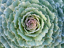 Cabbage in the garden. Green cabbage in the garden Royalty Free Stock Photos