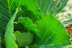 Cabbage in the garden. Green cabbage in the garden Royalty Free Stock Images