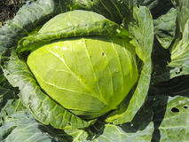 Cabbage  in  garden. Cabbage  in growth at vegetable garden. Broccoli cabbage from organic grower farm. Summer garden Royalty Free Stock Photography