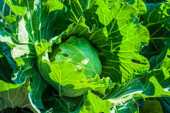 Cabbage in the garden Royalty Free Stock Photos