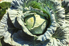 Cabbage in the garden Stock Images