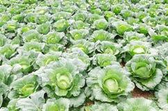 Cabbage in the garden Stock Photos