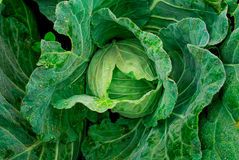 Cabbage in the garden. Royalty Free Stock Photo