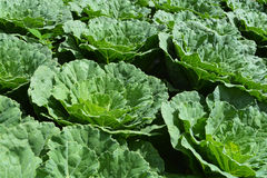 Cabbage garden Royalty Free Stock Images
