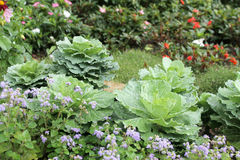 The cabbage for gardening Royalty Free Stock Image