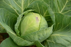 Cabbage - grade Early the June Stock Photos
