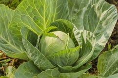 Cabbage - grade Royalty Free Stock Photos