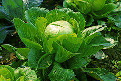 Cabbage. Green cabbage head on a farm Royalty Free Stock Photos