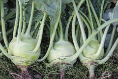 Cabbage,green vegetable ripe Stock Photos