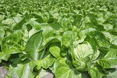 Cabbage green vegetables field in spring farmland Stock Image