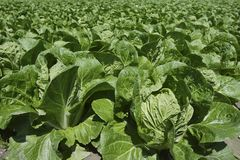 Cabbage green vegetables field in spring farmland Stock Photo
