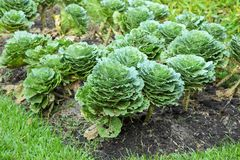 Cabbage grow Royalty Free Stock Photography