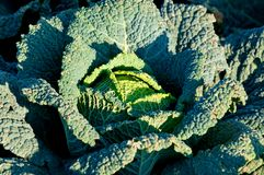 Cabbage growing Royalty Free Stock Photography