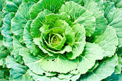 Cabbage growing on a bed in the garden Royalty Free Stock Image