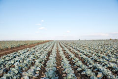 Cabbage growing on the farm Stock Images