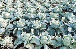 Cabbage growing on the farm Stock Photography