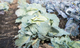 Cabbage growing on the farm Royalty Free Stock Photo