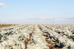 Cabbage growing on the farm Stock Image
