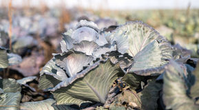 Cabbage growing on the farm Royalty Free Stock Images