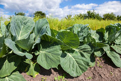 Cabbage growing on the field Royalty Free Stock Image
