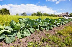 Cabbage growing on the field Stock Photography