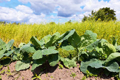 Cabbage growing on the field Stock Photos