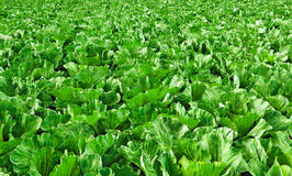 Cabbage growing in a field Stock Image