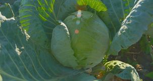 Cabbage growing on the garden in the sunlight. stock footage