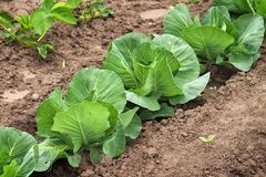 Cabbage growing in the garden. Royalty Free Stock Image