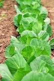 Cabbage growing in the garden. Stock Photo