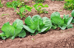 Cabbage growing in the garden. Royalty Free Stock Photos