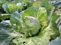 Cabbage growing in the garden Royalty Free Stock Image