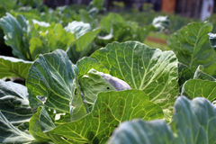 Cabbage growing in the garden Stock Photos