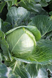 Cabbage growing in the garden Stock Photography