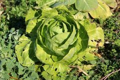Cabbage growing in home garden with half eaten outside leaves. Surrounded with small plants on warm winter day stock photos