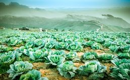 Cabbage growing on the mountains Stock Photo