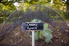 Cabbage Growing Vegetable Garden stock photo