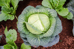 Ornamental cabbage growing in the soil. Flowering Cabbage. Decorative cabbage. Cabbage growing in the soil Stock Photo