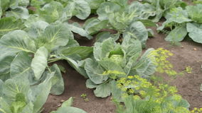 Cabbage growing in a summer garden stock video footage