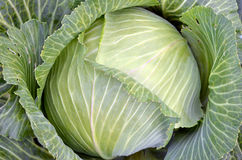 Cabbage grown in the garden Stock Image