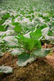Cabbage that grows in the garden.  Royalty Free Stock Images