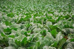 Cabbage that grows in the garden.  Stock Photography