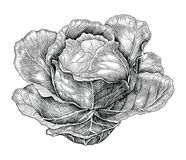 Cabbage hand drawing vintage engraving illustration. Isolated on white background vector illustration
