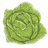 Cabbage Royalty Free Illustration
