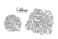 Cabbage hand drawn vector illustration. Isolated vegetable engraved style object. Detailed vegetarian food drawing. Farm Stock Photos