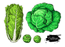Cabbage hand drawn vector illustrations set. Chinese cabbage, brussel sprout. Isolated vegetable atistic style objects. Detailed vegetarian food drawing. Farm royalty free illustration