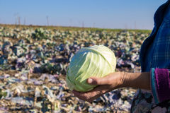 Cabbage in hands Royalty Free Stock Photo
